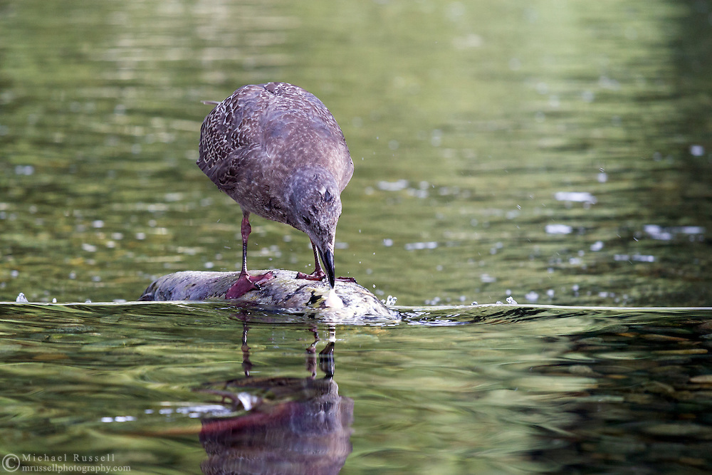 A gull snacks on salmon eyes at the Weaver Creek Spawning Channel near Harrison Mills, British Columbia, Canada.