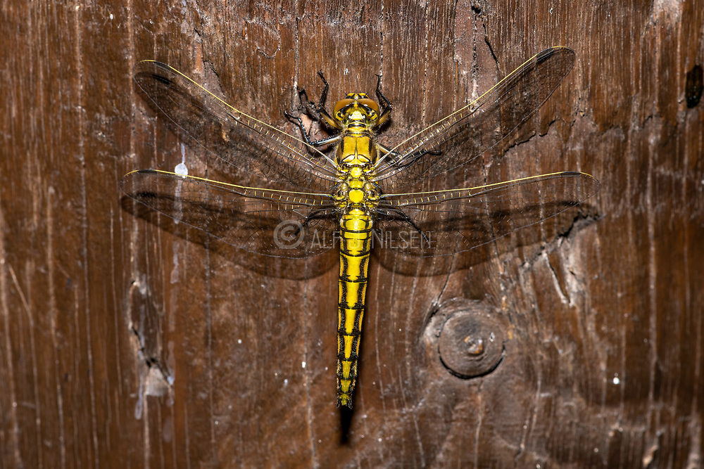 Female of a newly transformed black-tailed skimmer (Orthetrum cancellatum) from Vejlerne, northern Denmark in June.