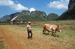 Man with ox working on farm near Vinales; Pinar Province; Cuba; near to a thatched tobaccodrying barn,