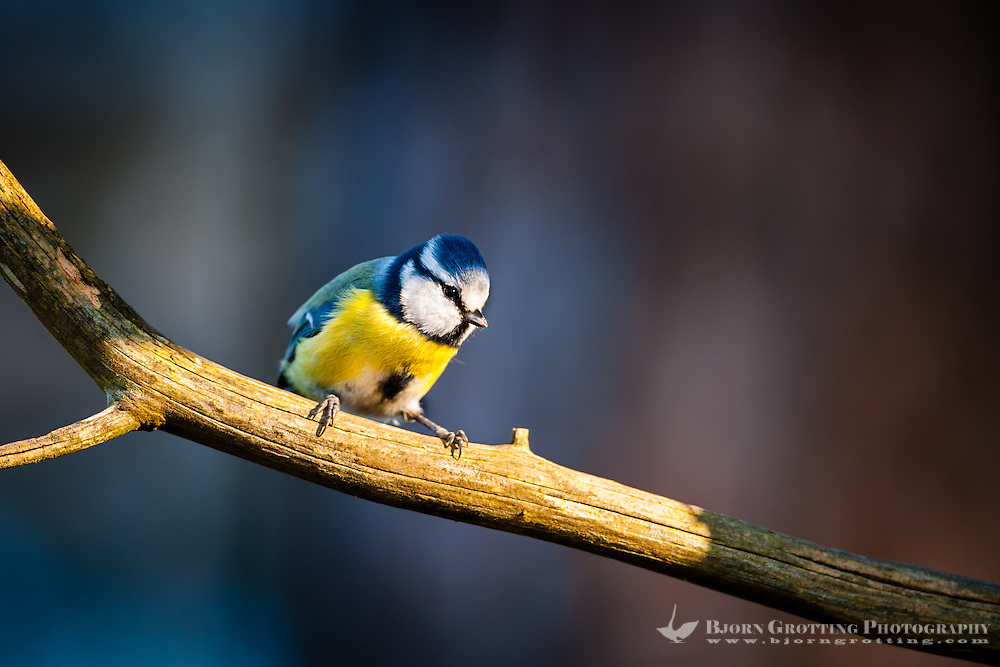 Blue tits are common throughout temperate and subarctic Europe and western Asia.