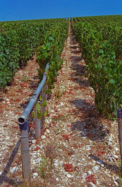 Chablis: Bougros, grand cru vineyard with water tubes used in winter to spray water to prevent too much frost damage