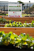 Signage highlights the new American Heart Association Teaching Garden and sponsor SanDisk Corporation at Milpitas High School in Milpitas, California, on October 8, 2013. (Stan Olszewski/SOSKIphoto)