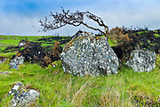 Windswept Tree on the Old Bog Road, Connemara, County Galway, Ireland