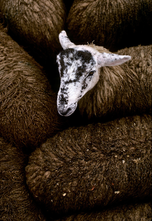 Britain, England.  Lamb sale in Hawes, North Yorkshire.