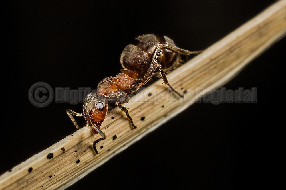 Makrobilde av en maur på et strå   Macropicture of an ant on a straw