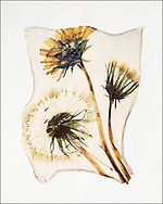 FLOWERPRESS - Dandelion Clock - polaroid lift photo art print by Paul E Williams. These rare and striking polaroid lift was taken iby Paul Williams in 1992 and was awarded a Polaroid European Final Art Award. .<br /> <br /> Visit our FINE ART PHOTO  PRINT COLLECTIONS for more wall art photos to browse https://funkystock.photoshelter.com/gallery-collection/Fine-Art-Photo-Prints-by-Photographer-Paul-Williams/C0000UM829OLMVv8