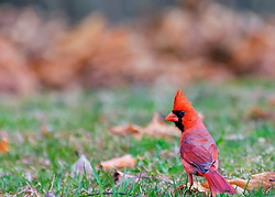 A male Northern Cardinal in my yard this morning