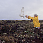 Denver Holt releasing a female snowy owl that has a satellite transmitter on her back.