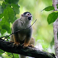 Central America, Costa Rica, Corcovado. The endangered Black Crowned Central American Squirrel Monkey, in the forests near Lapa Rios.