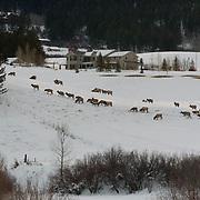 Elk (Cervus canadensis) Herd crossing snow filled hillside in residental area outside Bozeman, Montana in search of food. Winter.