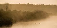 Mallard (Anas platyryhnchos) pair in wetland habitat at dawn. Nemunas regional reserve, Lithuania. Mission: Lithuania, June 2009