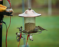Pine Siskin. Image taken with a Nikon D5 camera and 200-500 mm f/5.6 VR lens