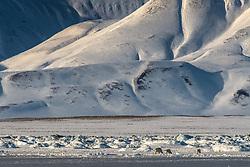 Polar bear in March, Isfjorden, Spitsbergen, Svalbard, Norway