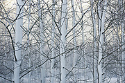 Mixed young stand of birch trees and alders in snow, Vidzeme, Latvia Ⓒ Davis Ulands | davisulands.com