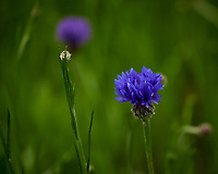 Bachelor Button (Cornflower). Image taken with a Leica TL-2 camera and 55-135 mm lens.