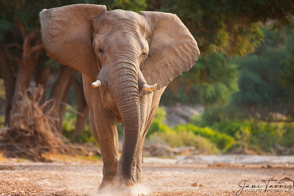 A low view of a full charging desert-adapted elephant bull in musth (Loxodonta africana), Skeleton Coast, Namibia, Africa