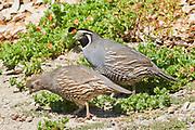 Male and female California Quail.(Callipepla californica).Irvine,California