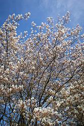 Amelanchier lamarckii AGM in blossom