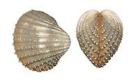 Rough Cockle - Acanthocardia aculeatus