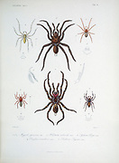 Spider of Cube 1838 From the book Histoire physique, politique et naturelle de l'ile de Cuba [Physical, political and natural history of the island of Cuba] by  Sagra, Ramón de la, 1798-1871; Orbigny, Alcide Dessalines d', 1802-1857 Publication date 1838 Publisher Paris : A. Bertrand