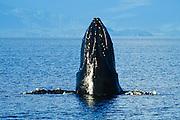 Alaska. Southeast. Frederick Sound. Nose of Humpback whale spy hopping.