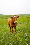 Brown bullock with horns on machair grassland grazing, Vatersay Island,Barra, Outer Hebrides, Scotland, UK