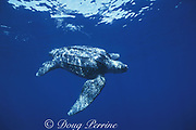 leatherback sea turtle, Dermochelys coriacea, Mexico ( Eastern Pacific Ocean ), Critically Endangered Species