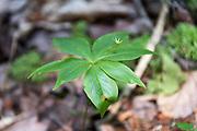 Leaves and seed capsule of Starflower (Trientalis borealis), Isle au Haut, Maine, USA.