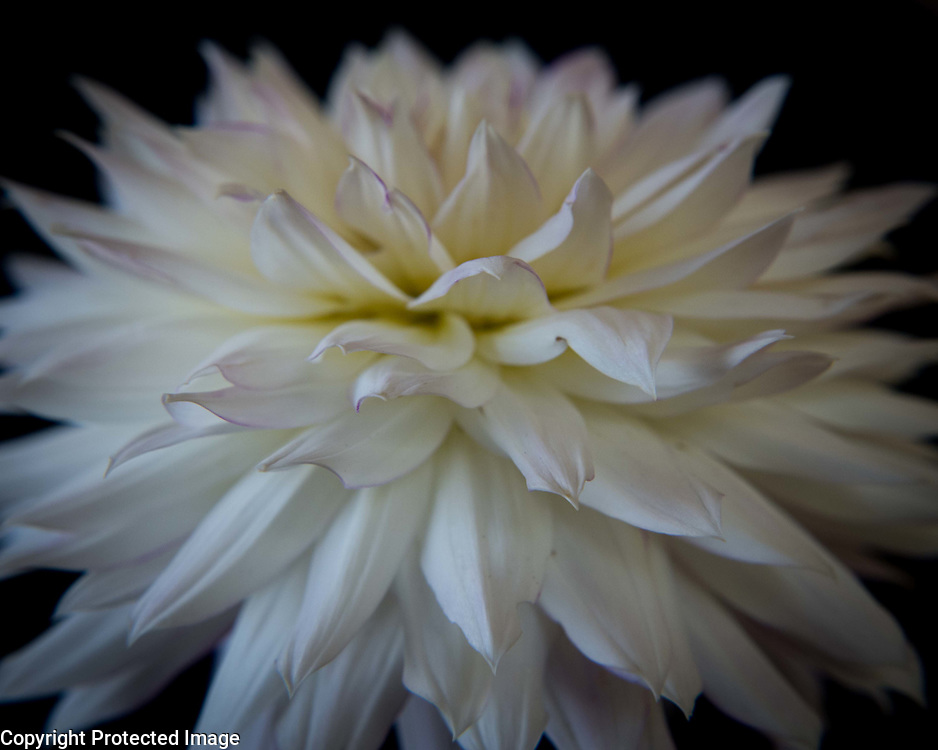 This late summer dahlia was given to me by my across-the-street neighbor who has an amazing garden. She lets me shoot back there whenever I ask, and honestly I could go weekly and find something new every time.