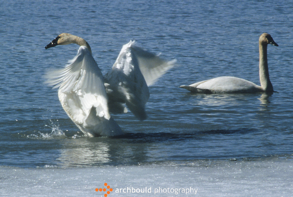 Swans in water, Yukon