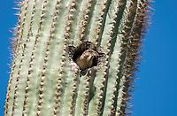 Female House Sparrow, Passer domesticus, nests in a Saguaro cactus, Carnegiea gigantea, in the Desert Botanical Garden, Phoenix, Arizona