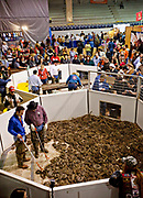 Volunteer snake handlers in snake pits filled with western diamondback rattlesnake as the crowd looks on during the 51st Annual Sweetwater Texas Rattlesnake Round-Up March 14, 2009 in Sweetwater, Texas. During the three-day event approximately 240,000 pounds of rattlesnake will be collected, milked and served to support charity.