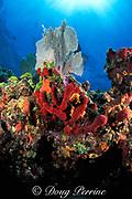 sponges and sea fans on lip of overhanging ledge <br /> Biscayne National Park, Florida (Atlantic)