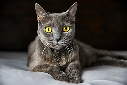 Grey Cat Lying on Bed, Close-up view