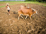 A farmer uses oxen to plow a rice field Irrawaddy Delta (or Ayeyarwady Delta) in Myanmar. The region is Myanmar's largest rice producer, so its infrastructure of road transportation has been greatly developed during the 1990s and 2000s. Two thirds of the total arable land is under rice cultivation with a yield of about 2,000-2,500 kg per hectare. FIshing and aquaculture are also important economically. Because of the number of rivers and canals that crisscross the Delta, steamship service is widely available.
