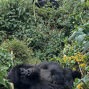 Mountain Gorilla, (Gorilla gorilla beringei) Female rests. Silverback above.Volcanoes National Park. Rwanda. Africa.