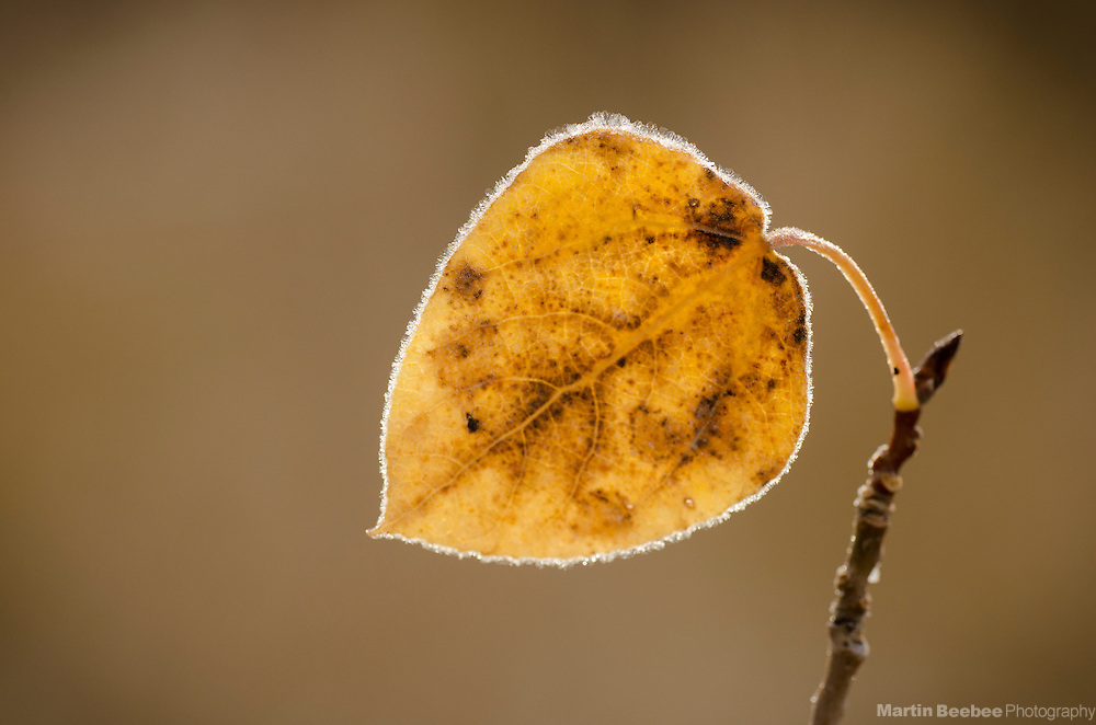Frost-rimmed leaf of quaking aspen (Populus tremuloides), fall, Hope Valley, Toiyabe National Forest, California