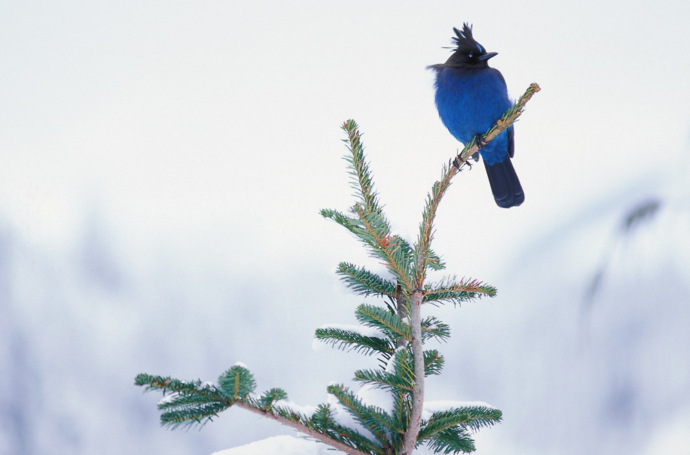 Stellar's Jay, winter, Washington, USA