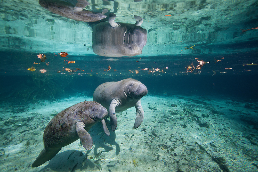 """Portrait of a West Indian manatee mother and baby (cow and calf),  or """"Sea Cow"""" (Trichechus manatus), Crystal River, Three Sisters Spring, Florida."""
