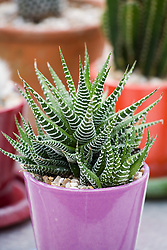 Haworthia attenuata - Zebra plant, cactus in a pink glazed terracotta pot