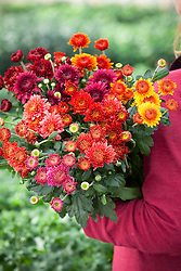 Carrying bunch of chrysanthemums