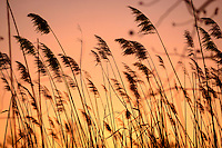 Sunset scene through phragmites common reeds, Phragmites australis, on the scenic Chesapeake Bay near Annapolis, Maryland, USA.