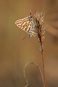 Tawny Silverline, Arab Leopard or Leopard Butterfly (Cigaritis acamus) Photographed in Israel