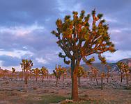67CADJT_112 - USA, California, Joshua Tree National Park, Sunset light on forest of Joshua Trees near Hidden Valley. (5258 x 4200 px)