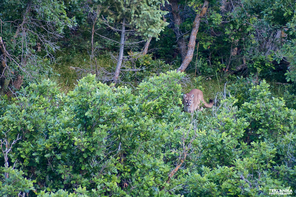 A cougar, or mountain lion, stalks through the trees.
