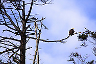 Adult bald eagle perched on branch