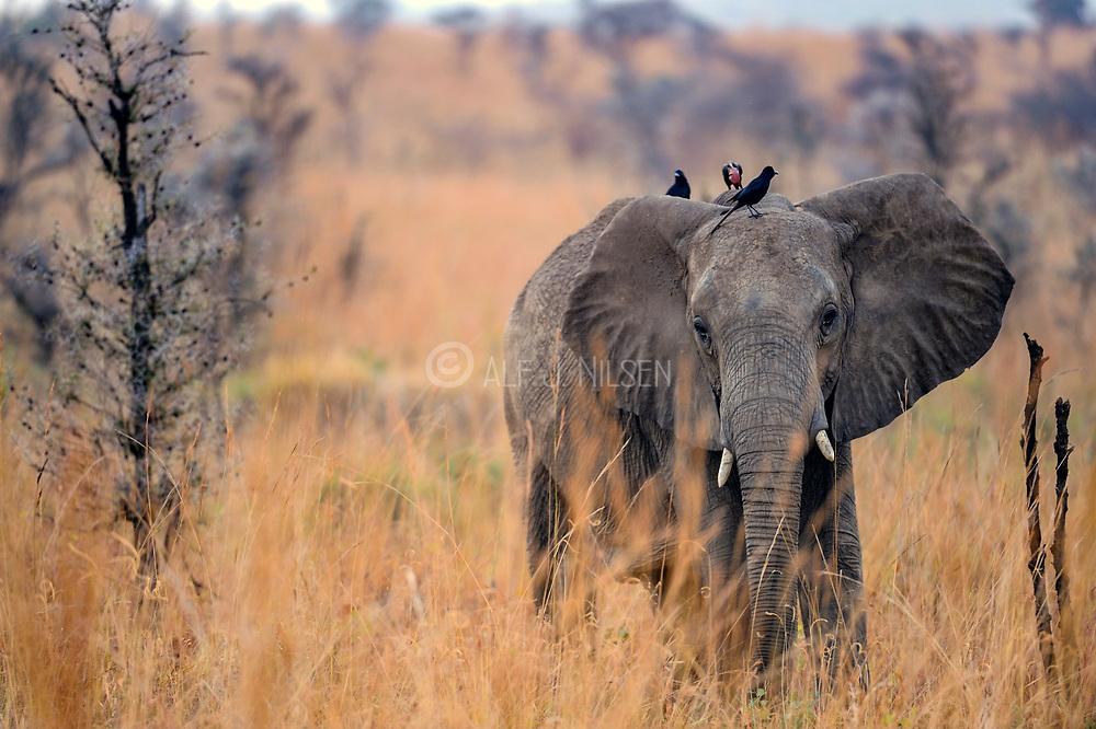 African savanna elephant (Loxodonta africana) with piapiacs (Ptilostomus afer) on its back. From Murchison's Falls, Uganda.