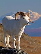 Alaska. Dall sheep (Orvis dalli) in the autumn sun along Primrose Ridge, Denali National Park.