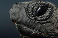A hatchling Loggerhead Sea Turtle (Caretta caretta) has a sharp tip below the nostrils to help pipping through the paper-like egg shell.
