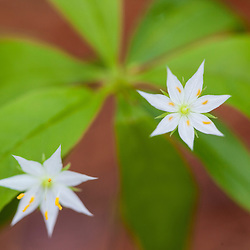 Blooming starflower, Trientalis borealis, in a Durham, New Hampshire forest.